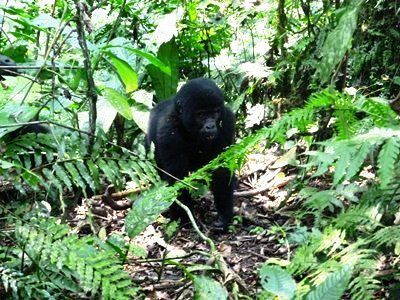 Bwindi-Gorrilla-Treking-3days