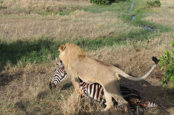 Kenya budget- camping-Joining-safaris-4days